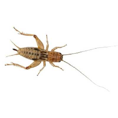 Brown Crickets Various Sizes - Livefood