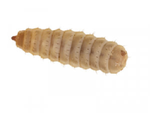 Calci-worm Various Sizes - Livefood